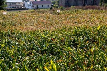 Champs de gingembre frais biologique au Népal (zingiber officinale, ginger)