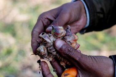 Mains tenant une racine de gingembre biologique