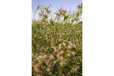 Cumin biologique en fleurs dans le champs du producteur avec qui Epices Shira travaille