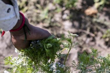 Producteur d'épices bio dans le Gujarat, en Inde, en train de cueillir des plantes dans son champs