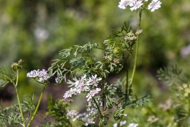 Coriandre biologique en fleurs, dans le Gujarat en Inde, dans le champs du producteur