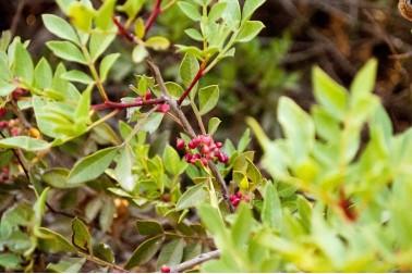 Pistachier sauvage d'Iran (pistacia terabinthus)