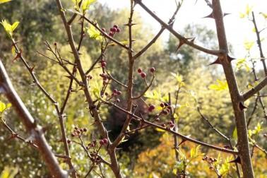 Arbustes de timur sauvage au Népal