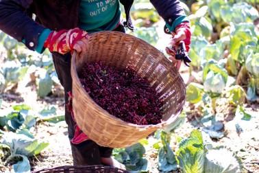 Cueillette de timur bio et sauvage au Népal