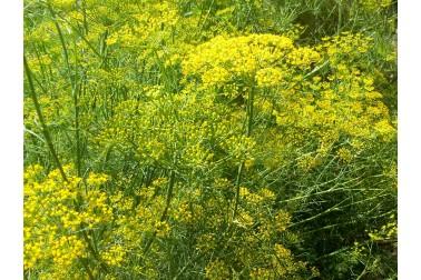 fleurs d'anis sauvage et biologique