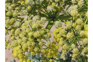 Fleurs d'ase fétide