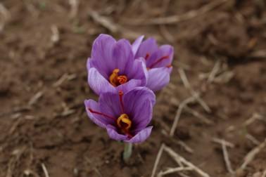 Fleurs de safran bio (crocus sativus)  cultivée par un producteur du Cachemire, en Inde