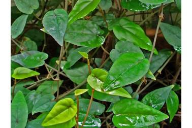 Poivre cubèbe bio de Java frais