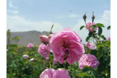 Rose d'Ispahan bio et sauvage (rosa damascena, rose de Damas)  dans la région d'Ispahan en Iran