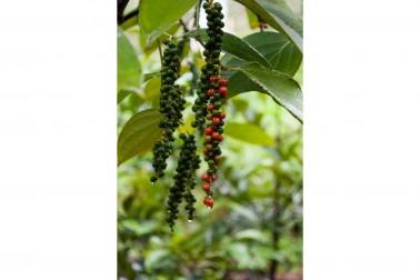 Grappes de poivre noir bio de Malabar frais cultivé par un producteur du Kerala, en Inde