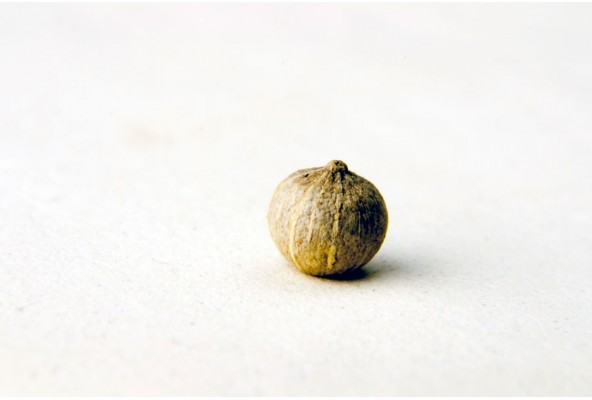 Poivre blanc bio (piper nigrum, white pepper, cow dung) sélectionné par Epices Shira