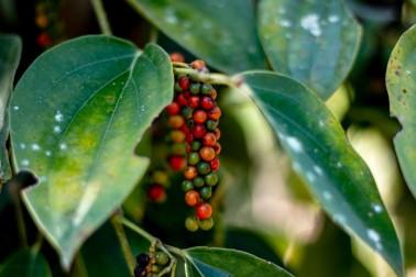 Grappe de poivre frais sur sa liane