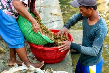 Producteurs d'épices bio en train de procéder au rinçage du poivre sur l'île de Sulawesi, en Indonésie