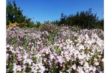 Thym thymol bio et sauvage en fleurs (thymus vulgaris) dans la garrigue du Languedoc, en France
