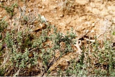 Thym thymol bio et sauvage frais (thymus vulgaris) dans la garrigue du Languedoc, en France