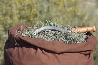 Thym thymol sauvage coupé et mis dans un grand sac de toile brune, avec une serpe posée sur le tas de thym