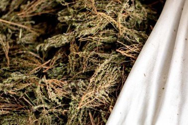 Thym thymol bio et sauvage coupé et mis dans un grand sac de toile, dans la garrigue du Languedoc, en France