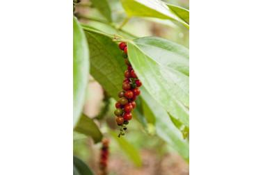 Grains poivre noir biologique frais de Zanzibar chez le producteur avec qui nous collaborons
