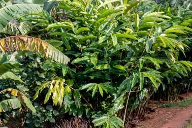 Plants de cardamome verte bio et sauvage (elettaria cardamomum) poussant dans le Kerala, en Inde