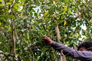 Producteur d'épices bio sur l'île de Sulawesi, en Indonésie, en train de monter sur une échelle pour la cueillette