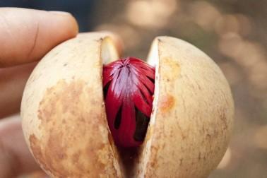 Fruit du muscadier frais et bio, ouvert en deux et où on voit le macis et la muscade. Sulawesi, en Indonésie.