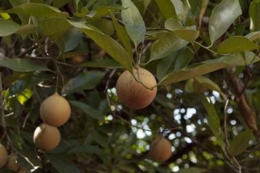 Muscadier biologique avec ses gros fruits orange, sur l'île de Sulawesi, en Indonésie