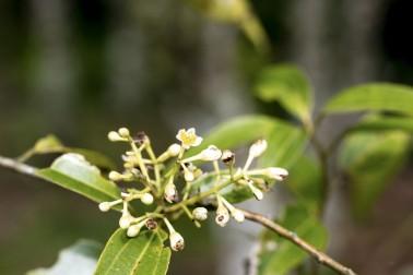 Petite branche de cannelier bio et sauvage (cinnamomum cassia), sur l'île de Sulawesi, en Indonésie