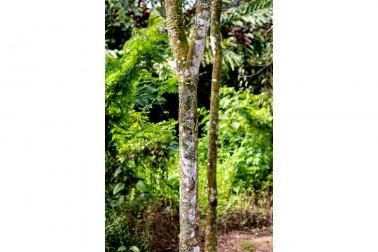Tronc de cannelier bio et sauvage (cinnamomum cassia), sur l'île de Sulawesi, en Indonésie