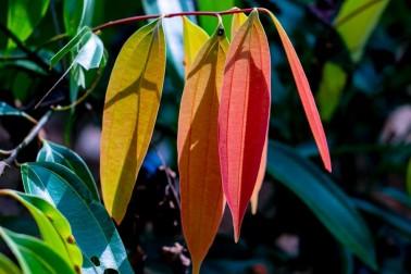 Feuilles de cannelier bio et sauvage (cinnamomum cassia)
