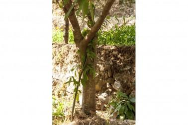 Tronc de cannelier bio et sauvage (cinnamomum cassia)