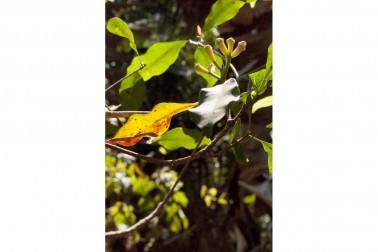 Giroflier sauvage (syzygium aromaticum, clove) au Sri Lanka