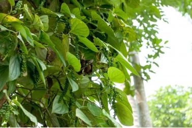 Poivre frais sauvage au Sri Lanka
