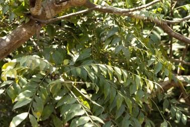 Arbre qui produit les feuilles de curry (curry leaf) biologiques et sauvages au Népal