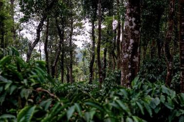Plant de cardamome en Inde