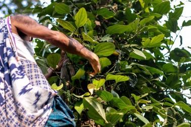Producteur de poivre frais bio dans le Kerala, en Inde, en train de grimper à l'échelle pour cueillir son poivre