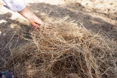 Fenugrec bio coupé dans la ferme du producteur avec qui nous collaborons dans le Rajasthan, en Inde