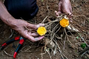 Producteur d'épices en train de déterrer des racines de curcuma bio (curcuma longa) à Java, en Indonésie