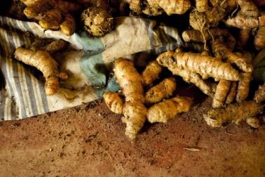 Racines fraîches de curcuma bio (curcuma longa) dans le champ du producteur avec qui nous collaborons
