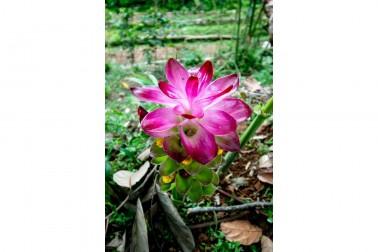 Fleur de curcuma bio (curcuma longa) dans le champs du producteur avec qui nous collaborons