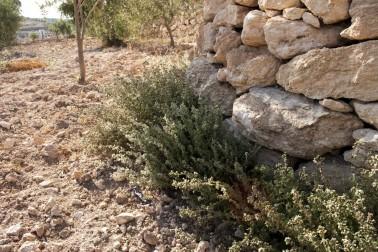 Tiges de zaatar (origanum syriacum) sauvage frais dans la nature autour de Jénine, en Palestine