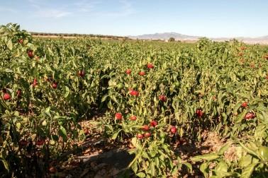 Champ de pimentón (paprika ou capsicum annuum) du producteur de Murcie, en Espagne avec qui nous travaillons