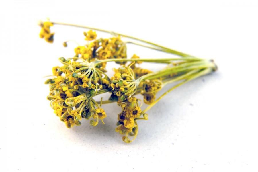 Fleurs de fenouil bio et sauvages du Languedoc (foeniculum vulgare) sélectionnées par Epices Shira