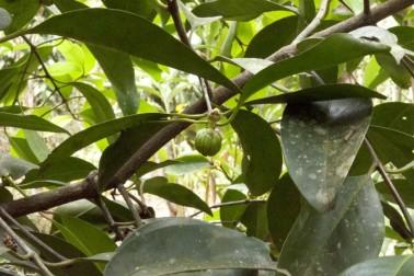Kudam Puli bio (garcinia cambogia) frais dans la ferme du producteur avec qui Epices Shira travaille