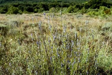 Pied de lavande sauvage dans la garrigue du Languedoc