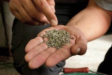Main tendue avec de la lavande séchées dans la paume