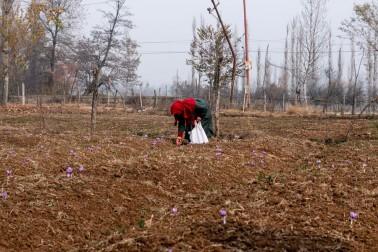 Cueilleuse de safran bio au Cachemire, en Inde avec qui nous travaillons