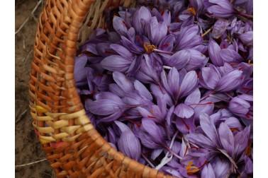 Panier rempli de fleurs de safran bio