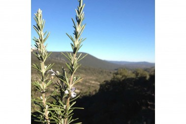 Romarin bio et sauvage (rosmarinus officinalis) poussant dans la garrigue du Languedoc, en France