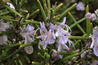 Fleurs de romarin bio et sauvage (rosmarinus officinalis) poussant dans la garrigue du Languedoc, en France