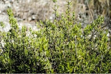 Herbes de Provence du Languedoc